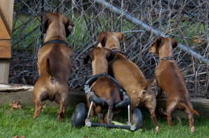 Dachshund Tails with a cart